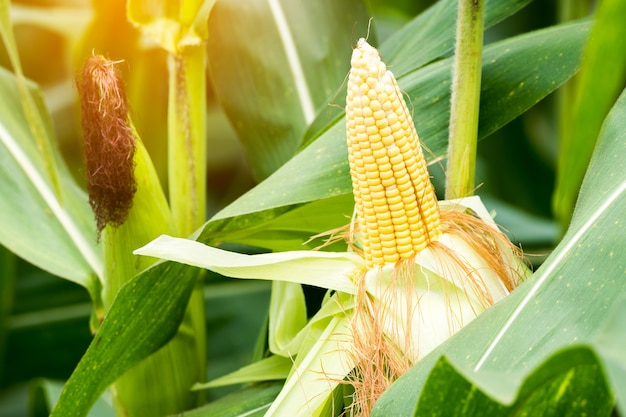 Two mature yellow cob of sweet corn on the field