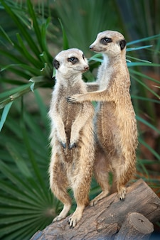 Two meerkats stand on guard holding each other