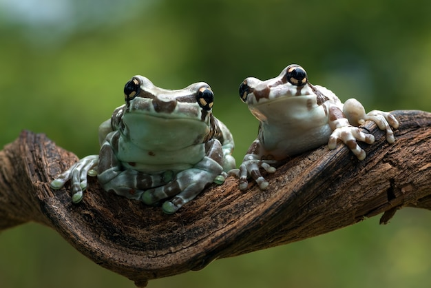 Two milk frogs on a tree branch