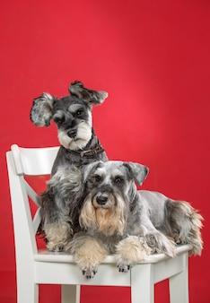Две миниатюрные собаки шнауцера на белом стуле