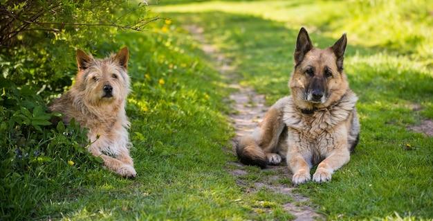 Две смешанные породы собак сидят на дороге в деревне
