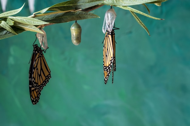 Two monarch butterflie drying wings on chrysalis