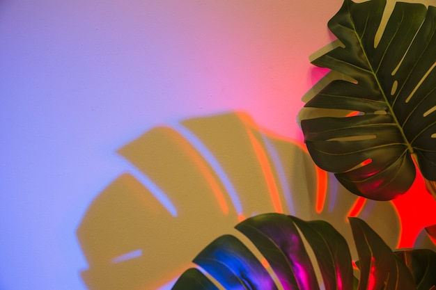 Two monstera leaves with shadow on colored backdrop