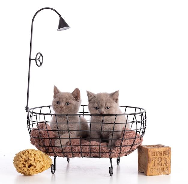 흰색 바탕에 스폰지와 72% 오일 마르세유 비누가 있는 욕조에 2개월 된 영국 고양이
