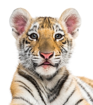 Two months old tiger cub against white