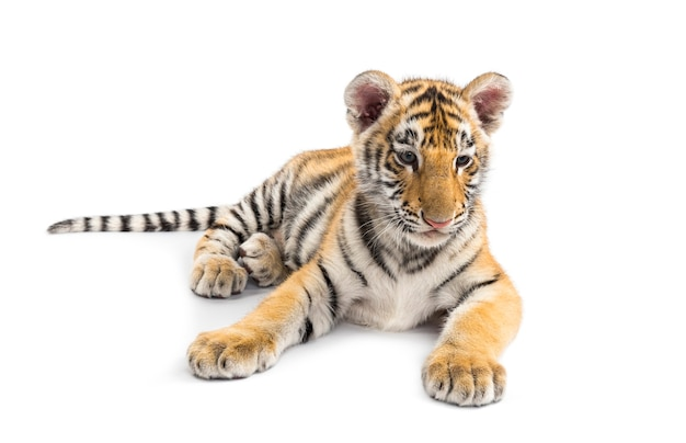 Two months old tiger cub lying against white