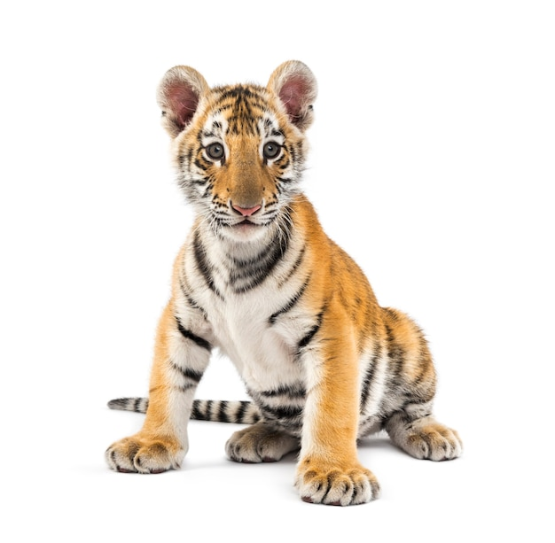 Two months old tiger cub sitting against white