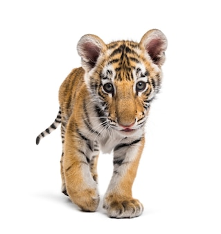 Two months old tiger cub walking against white