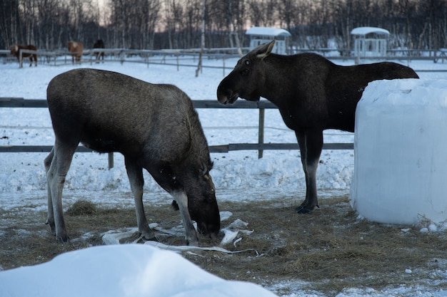 スウェーデン北部で干し草を食べる2つのムース