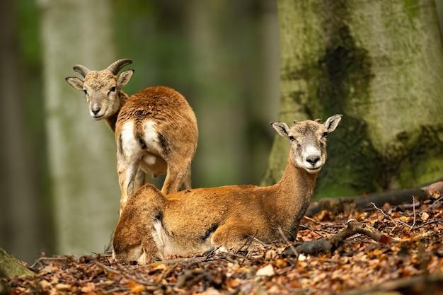 Два муфлона наблюдают за буком в лесу осенью.
