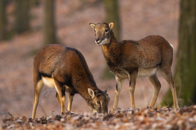 Два муфлона, стоя в лесу в осенней природе.