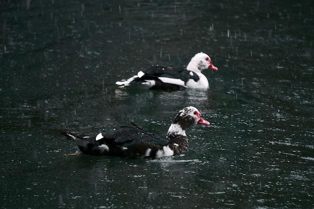 두 마리의 머스코비 오리가 강설량 아래 연못에서 헤엄치고 있다