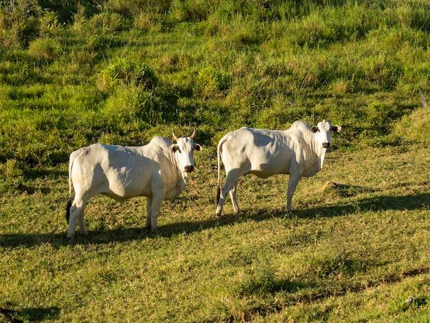 牧草地にいる 2 頭のネロール牛