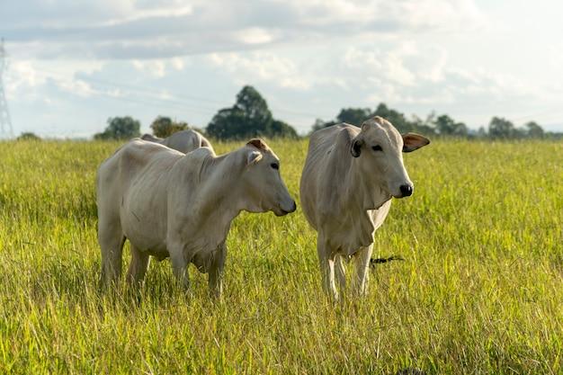 牧草地にいる2頭のネロール牛