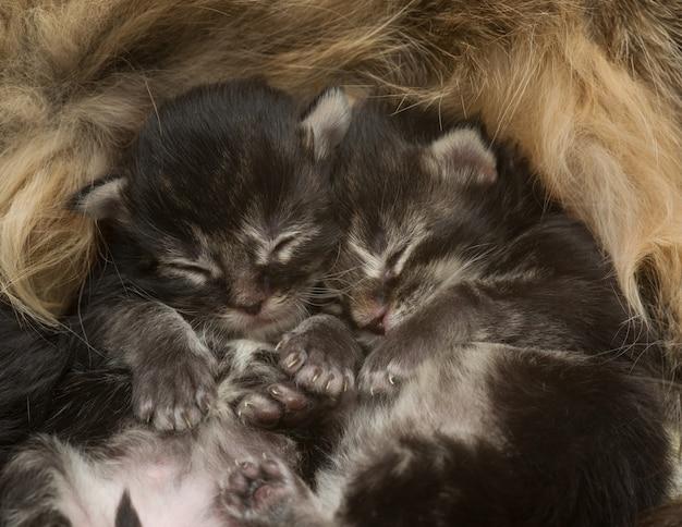 彼の母親の横で眠っている2匹の生まれたばかりの子猫