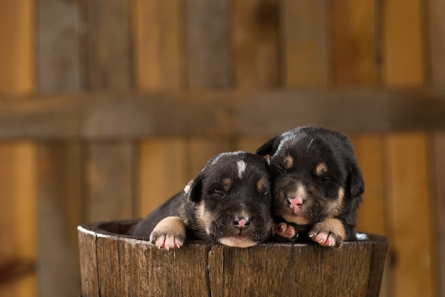 Two newborn puppies in a basket
