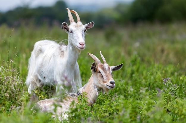 2 славных белых волосатых бородатых козы с длинными рогами, пасущимися в высокой зеленой цветущей траве луга в яркий солнечный теплый летний день на стертых полях и фоне деревьев.