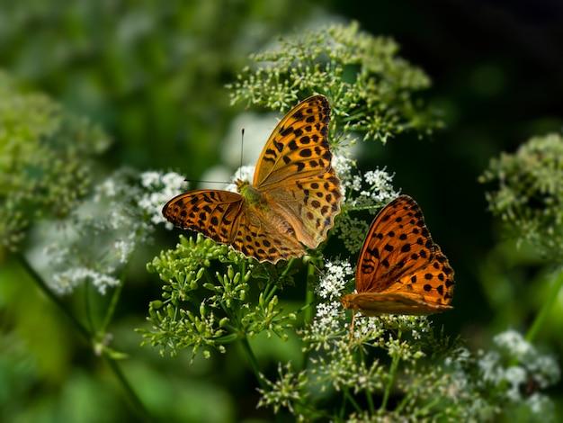 緑の自然に白い花の上に座っている2つのオレンジ色の蝶「真珠の母」