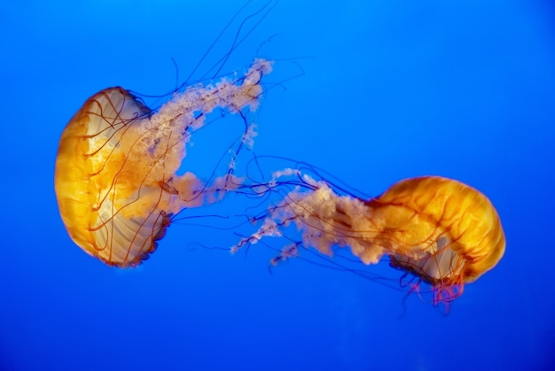 Two orange jellyfish in an aquarium