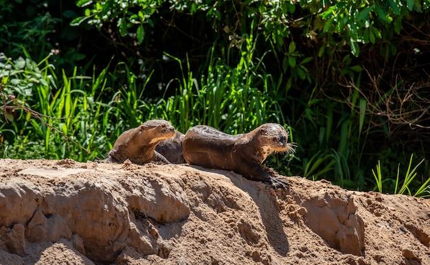 강둑의 모래에 두 마리의 수달이 누워 있습니다.