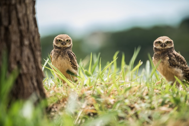 Two owls looking forward