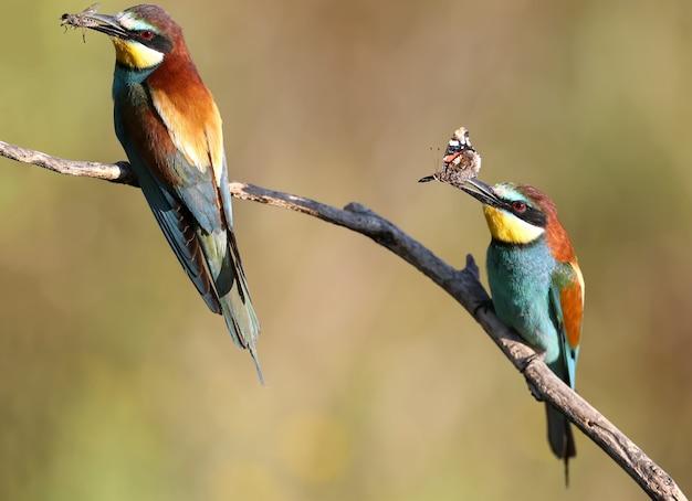 2人の親-ヨーロッパハチクイが枝に座って、くちばしに蜂と大きなトンボを抱きます