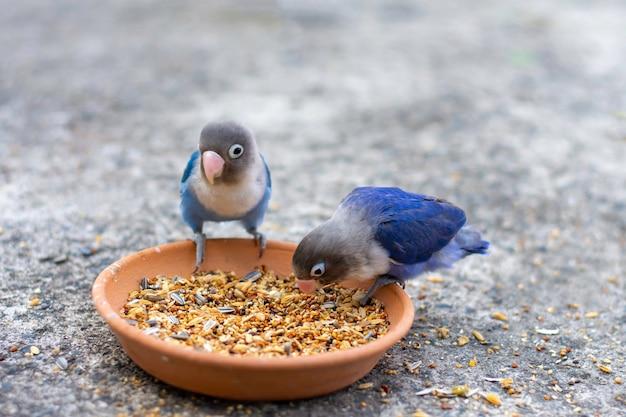 Два попугая неразлучника едят еду крупным планом
