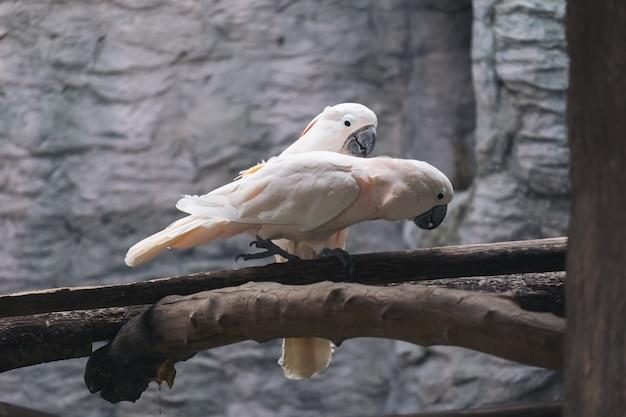 Два попугаи