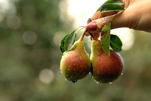 Two pears with leaves are held by a hand. there are water drops on the surface of the pears