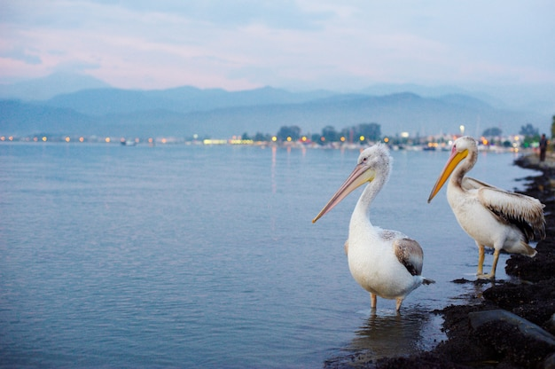 Two pelicans on the city waterfront