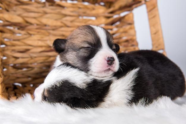 Две собаки щенков вельш корги пемброк на корзине, изолированные на белом фоне