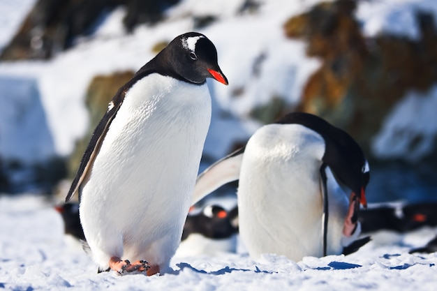 Два пингвина в антарктиде