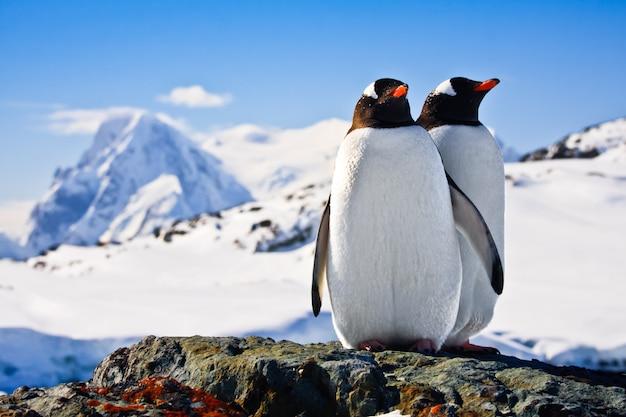 Два пингвина Premium Фотографии
