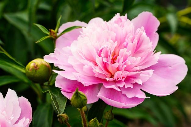 Две головы пиона розовые цветы и бутоны фоновые обои лепестки