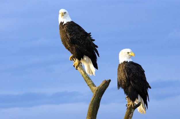 Two perched bald eagles
