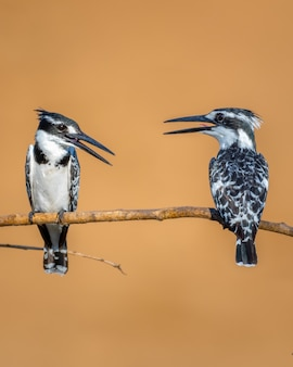 Two pied kingfishers standing on a tree branch under the sunlight