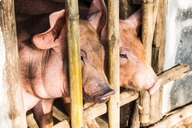 Two pig in the wooden pigsty