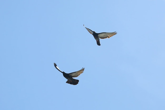 Два голубя летят в голубом небе
