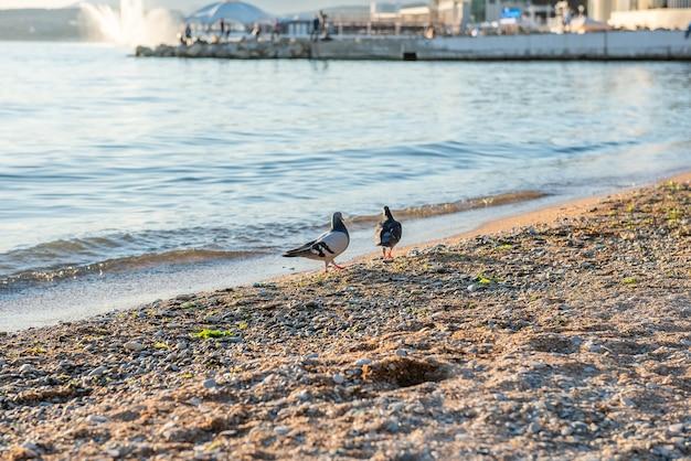 석양의 화창한 날 흑해의 모래 사장에 두 마리의 비둘기 석양의 아름다운 바다 경치 해변의 두 마리