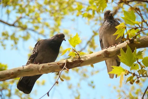 Два голубя сидят на ветке с зелеными листьями