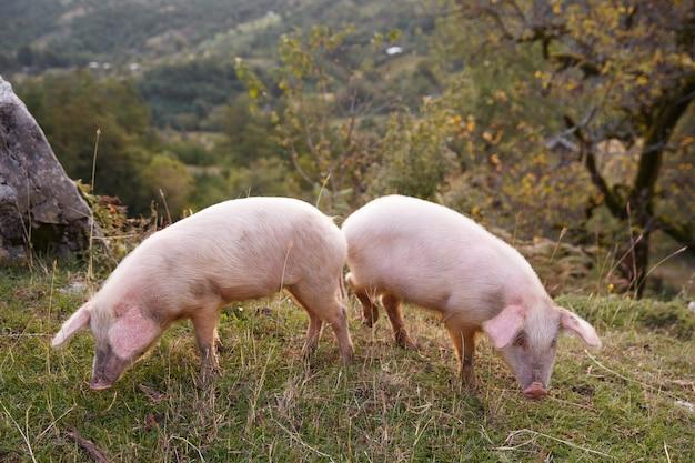 2頭の豚がフィールドで放牧します。