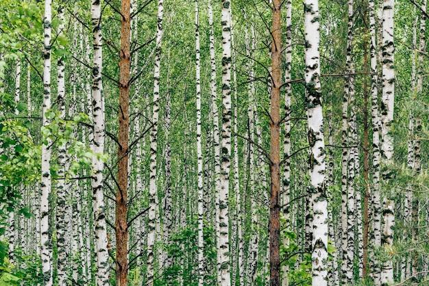 白樺の木立の2本の松の木