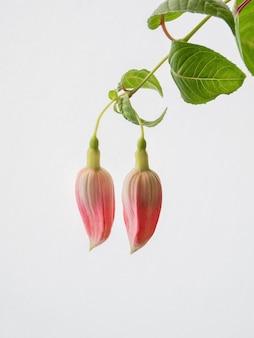 明るい背景にフクシアの2つのピンクの芽