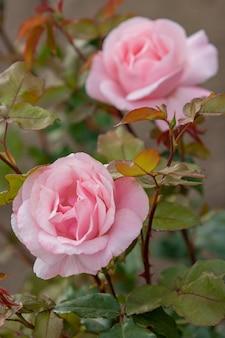 2つのピンクの茂みのバラのつぼみ