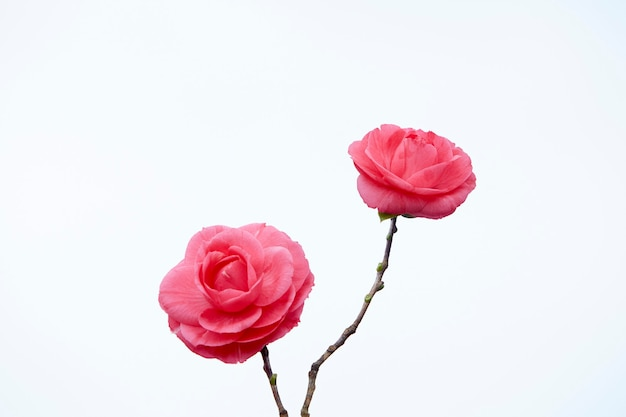Two pink camellia flowers. isolated. white background