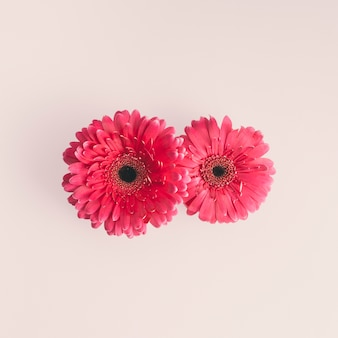 Two pink gerbera flowers on light table