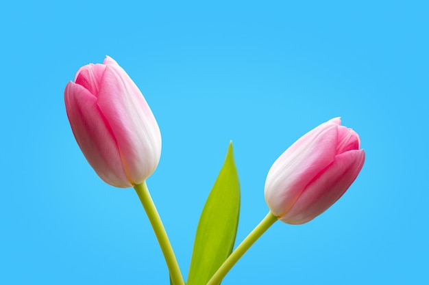 Two pink tulips isolated on blue background