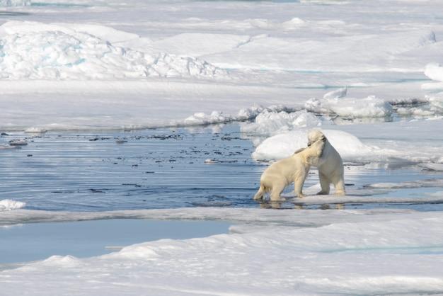 氷の上で一緒に遊ぶ2つのシロクマの子