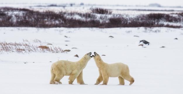 2匹のホッキョクグマがツンドラで遊んでいます。カナダ。