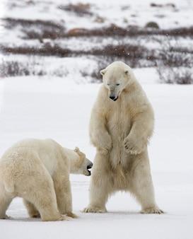 두 북극곰이 툰드라에서 서로 놀고 있습니다. 캐나다.